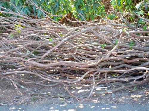 Mountain Laurel Branches