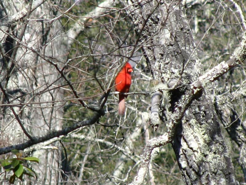Red Cardinal in the Winter Forest