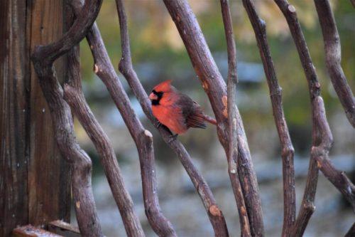 Cardinal Amidst Laurel Branches