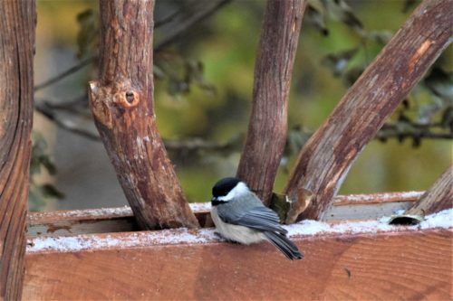 Chickadee On Mountain Laurel Handrails